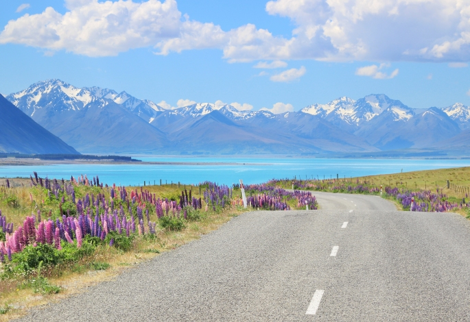 Lupins in bloom at Lake Tekapo