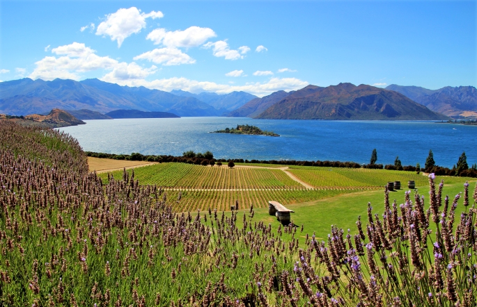 Lavender and vines in the foreground, overlooking Lake Wanaka from Ripon vineyard